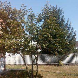 jabuka kaki drvo