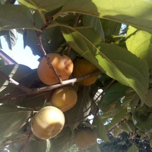 jabuka kaki na drvetu